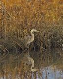 114 Great Blue Heron Female ~ Fall Reflection