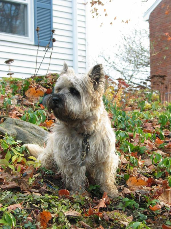 Cairns Terrier: Puppy Otis