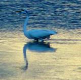 great blue heron white phase