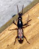 13006 Oak Timberworm Beetle