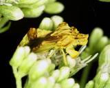 15336 Ambush Bug