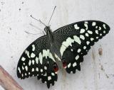 Lime Swallowtail #1