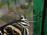 Lime Swallowtail #2