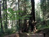 Riesige Sequoia Bäume