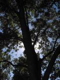 pecan_tree.jpg