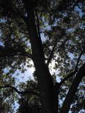 pecan_tree2.jpg