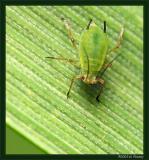 Hemiptera: Aphididae (Aphid)
