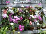 Phalaenopsis Blooms 2003