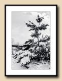 Japanese Black Pine in Snow