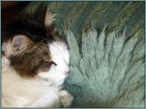 chat qui aime le confort