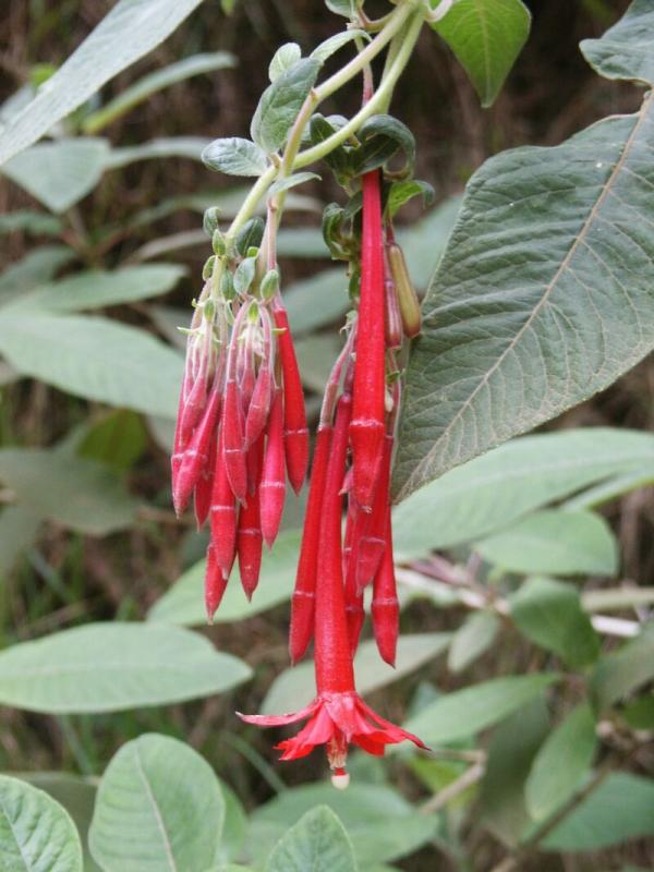 Red Fuschia, Kokee Park, Kauai (Fuchsia boliviana)