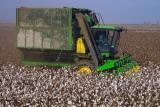 cotton picking near firebaugh