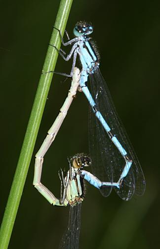 Marsh Bluet - Enallagma ebrium (mating wheel)