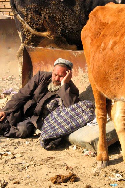Asleep amongst cattle