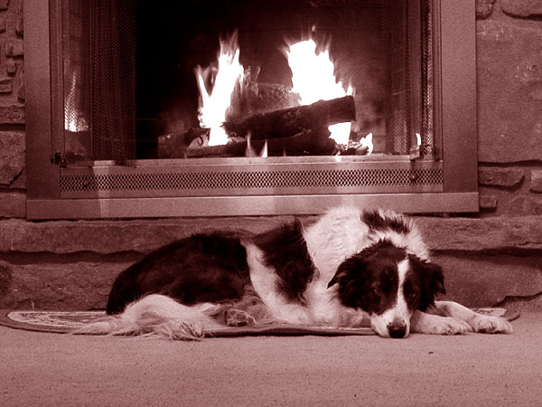 Retired sheepdog by the fire - Kelly