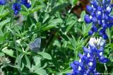Butterfly Bluebonnet