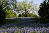 Hillside Blue - Lower Willow  City Loop 2003