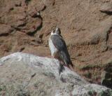 Peregrine Falcons of Morro Rock