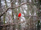 Cardinal in Locust Trees