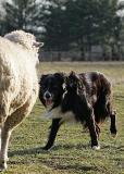 Mick backs a protective ewe with a newborn lamb