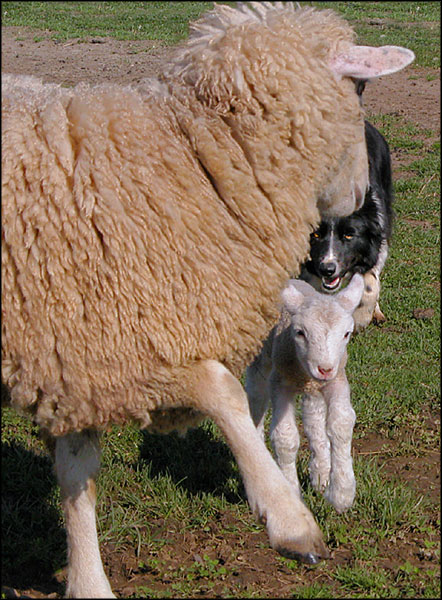 Kate turns a challenging ewe
