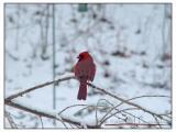 Cardinal - 007