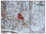 Cardinal -008