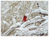 Cardinal -010