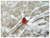 Cardinal -011