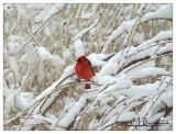 Cardinal -012