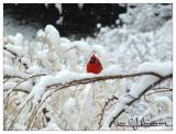 Cardinal -013