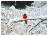 Cardinal -014