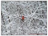 Cardinal-009