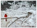 Cardinal & Sparrow -015