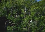Boobies in mangroves