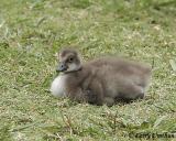 Hawaiian Goose (Gosling)