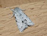 Fingered Dagger Moth (Acronictina dactylina)