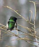 ruby-throated hummingbirdb.JPG
