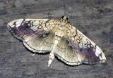 basswood-leafroller-moth-56.jpg