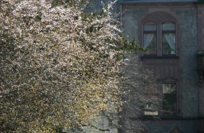Blooming Tree in the Hauptstrasse