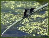 Pin-tailed Pondhawks  - in wheel