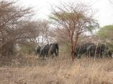 Elephants in the bush