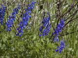 Bluebonnets In The Wind - La Vernia
