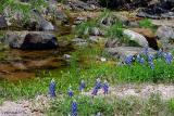 Spring Creek Bluebonnets - Willow City Loop 2003