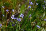 Dotted Blue-Eyed Grass