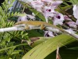 Lizard amidst the Honohono orchids