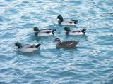 Missing duck formation