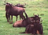 Relaxed Wildebeest
