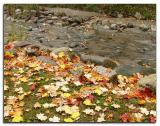 Maple leaves by the stream