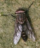 Tabanus superjumentarius (male)